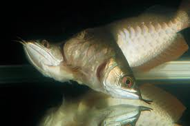 This two-headed fish is worried about the high volume of dead pigs in the water